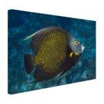 Franse hoekvissen op tropisch koraalrif - Canvas