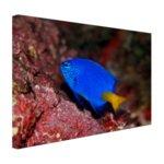 Exotische vis bij rood koraal - Canvas