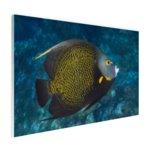 Franse hoekvissen op tropisch koraalrif - Plexiglas