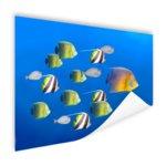 Grote vis leider van tropische vissen - Poster