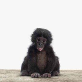 Canvas Baby Chimpansee