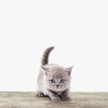 Canvas Kitten