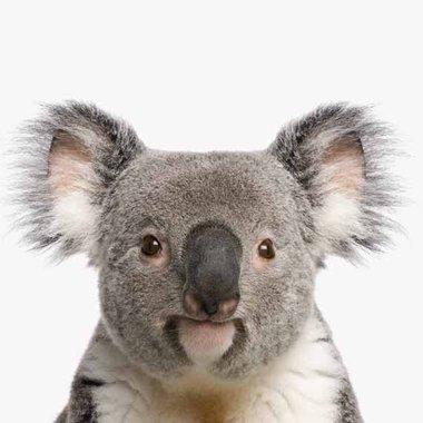 Canvas Koala Portret