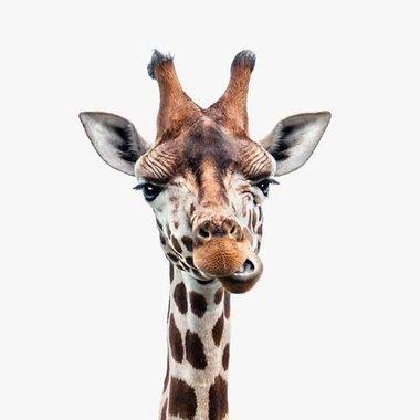 Canvas Giraffe Portret