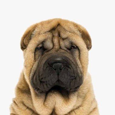 Canvas Gerimpeld Hondje Portret