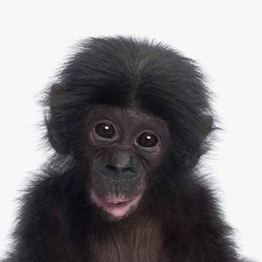 Canvas Chimpansee Portret