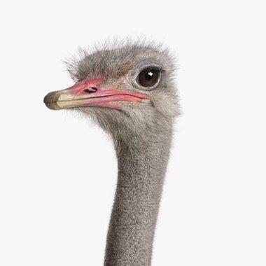 Canvas Struisvogel Portret
