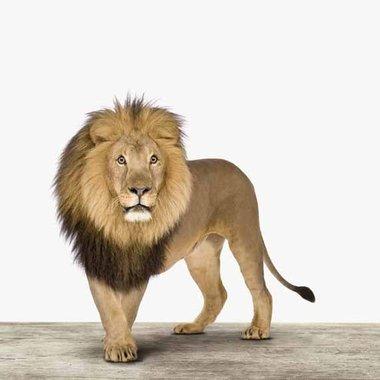 Canvas Leeuw