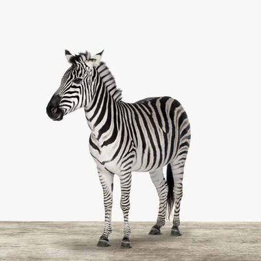 Canvas Zebra