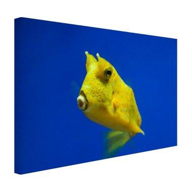 Gele gehoornde kogelvis onder water - Canvas