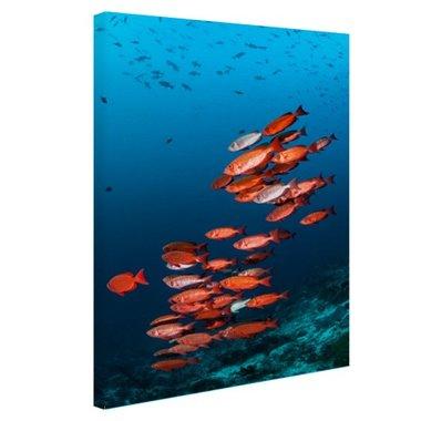 Rode vissen voor blauwe achtergrond - Canvas