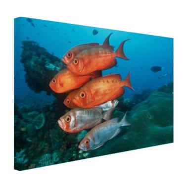 Rode en grijze vissen bij Zuid-Afrika - Canvas