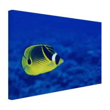 Wasbeer vlindervis onderwaterzicht - Canvas