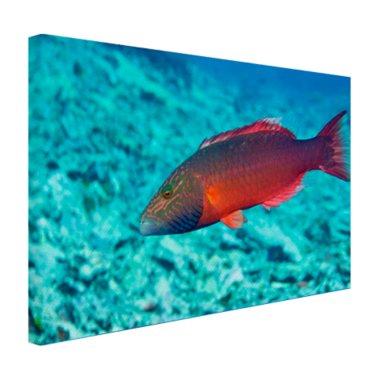 Rode vis in helderblauw water - Canvas