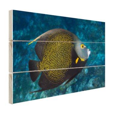 Franse hoekvissen op tropisch koraalrif - Hout