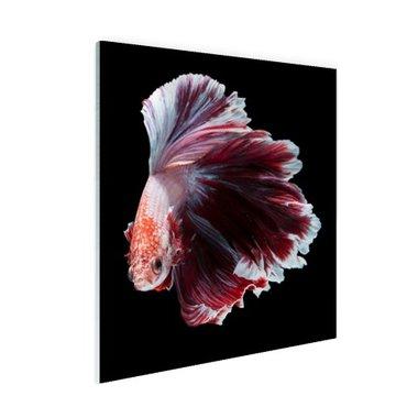 Sierlijke vis zwarte achtergrond - Plexiglas