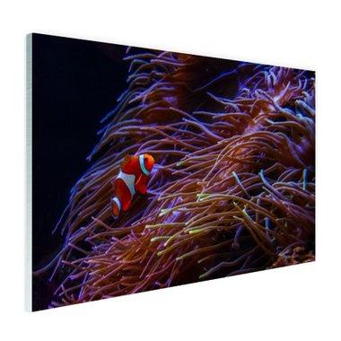 Nemo clown vis bij koraal - Plexiglas