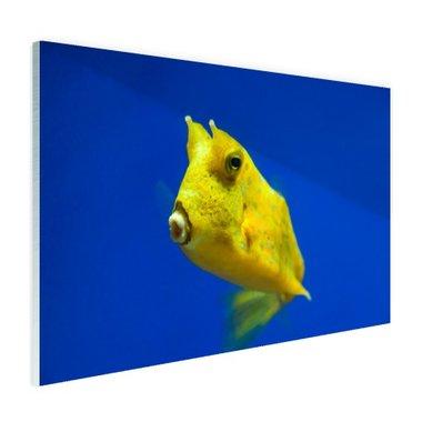 Gele gehoornde kogelvis onder water - Plexiglas