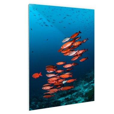Rode vissen voor blauwe achtergrond - Plexiglas