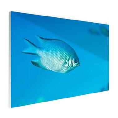 Blauw-grijze vis - Plexiglas