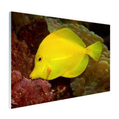 Gele Tang - Plexiglas