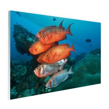 Rode en grijze vissen bij Zuid-Afrika - Plexiglas
