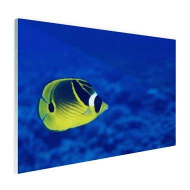 Wasbeer vlindervis onderwaterzicht - Plexiglas