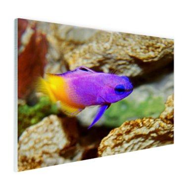 Paars-gele vis onder water - Plexiglas