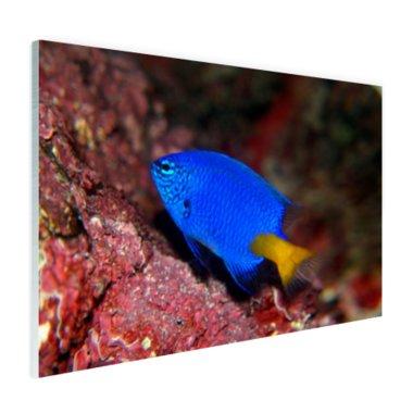 Exotische vis bij rood koraal - Plexiglas