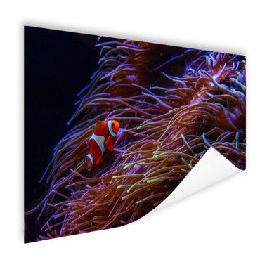 Nemo clown vis bij koraal - Poster