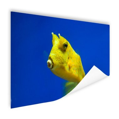 Gele gehoornde kogelvis onder water - Poster