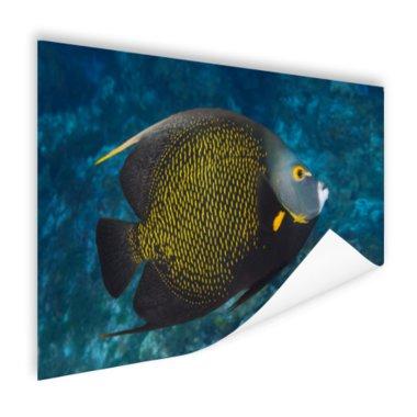 Franse hoekvissen op tropisch koraalrif - Poster