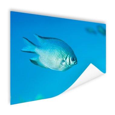 Blauw-grijze vis - Poster