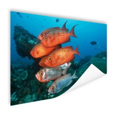 Rode en grijze vissen bij Zuid-Afrika - Poster