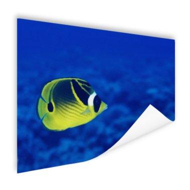 Wasbeer vlindervis onderwaterzicht - Poster