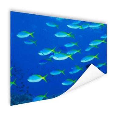 School van geelrugvissen - Poster