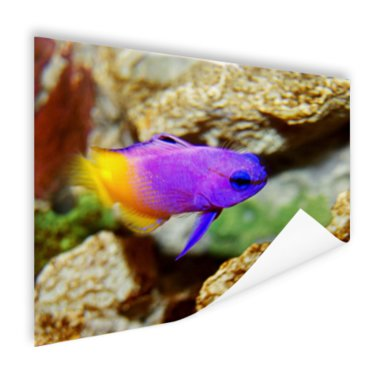 Paars-gele vis onder water - Poster