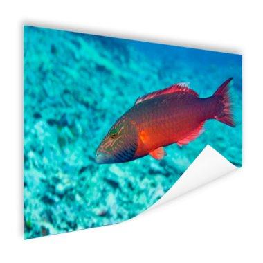 Rode vis in helderblauw water - Poster